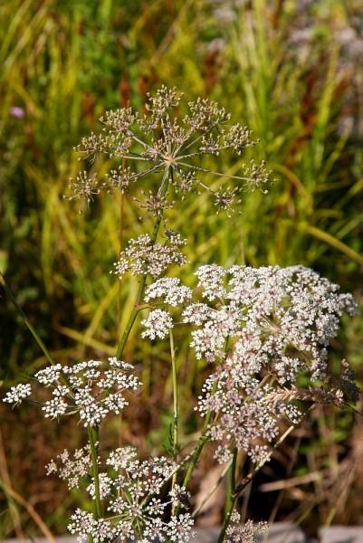 Peucedanum palustre [(L.)Moench] - Sumpfhaarstrang