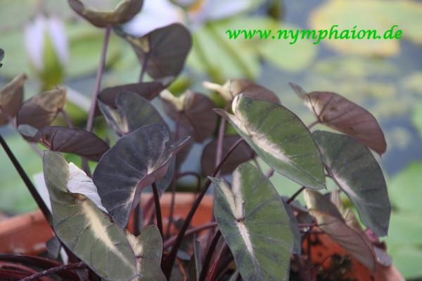 Colocasia esculenta `Tropical Storm` - Taro