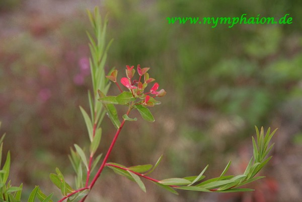 Euphorbia palustris 'Walenburgs Glorie' - Sumpfwolfsmilch