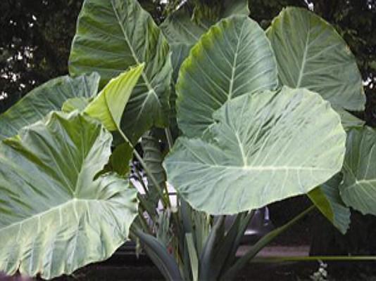 Colocasia esculenta `Thailand Giant` - Taro