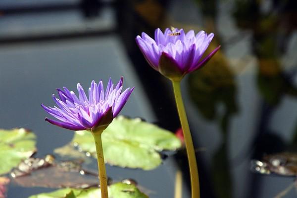 Nymphaea `Purple Zanzibar` - Tropische Seerose