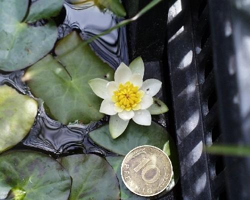 Nymphaea tetragona [Georgi] - Nordische Seerose