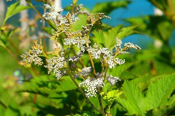 Filipendula ulmaria `Aurea` - Gelblaubiges Mädesüß