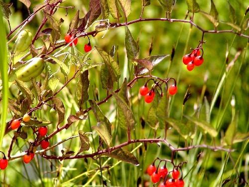 Solanum dulcamara [L.] - Bittersüßer Nachtschatten