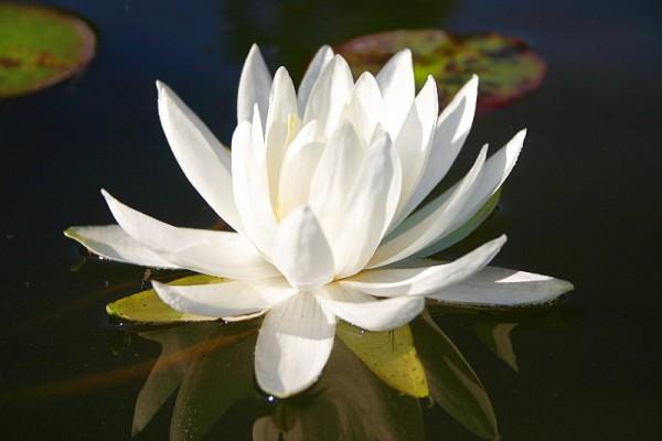 Nymphaea `Caroliniana Nivea` - Winterharte Seerose