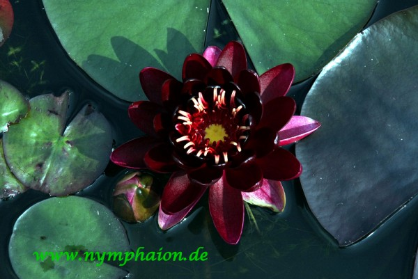 Nymphaea `Black Princess` - Winterharte Seerose
