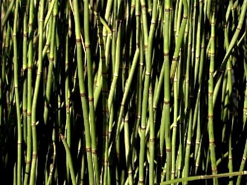Equisetum hyemale var hyemale [L.] - Winterschachtelhalm