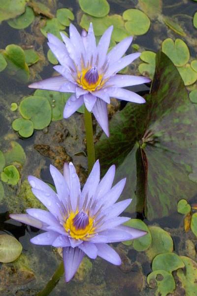 Nymphaea `Anconas` - Tropische Seerose