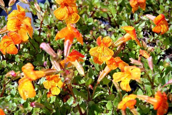 Mimulus Hybride Orangerot