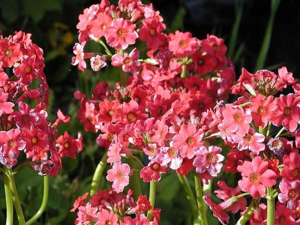 Primula japonica `Miller`s Crimson` - Japanprimel