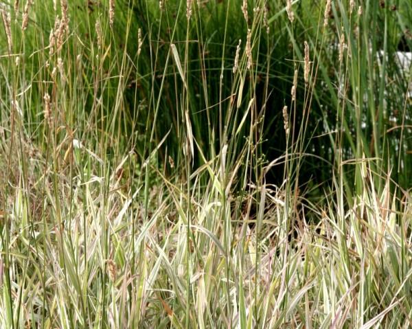 Phalaris arundinacea `Feesey` - Rohrglanzgras `Feesey`