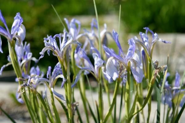 Iris missouriensis - Missouri-Wiesenschwertlilie