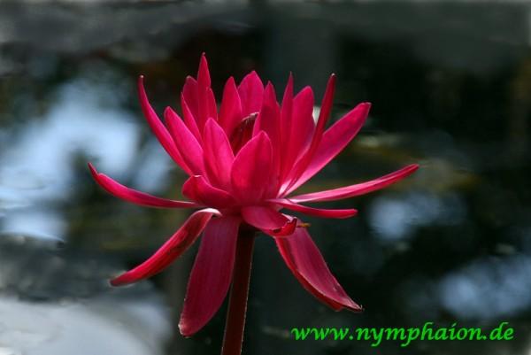 Nymphaea `Antares` - Tropische Seerose
