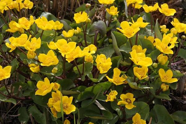 Caltha palustris `Goldschale`