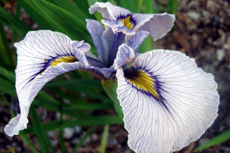 Iris-pseudata-01