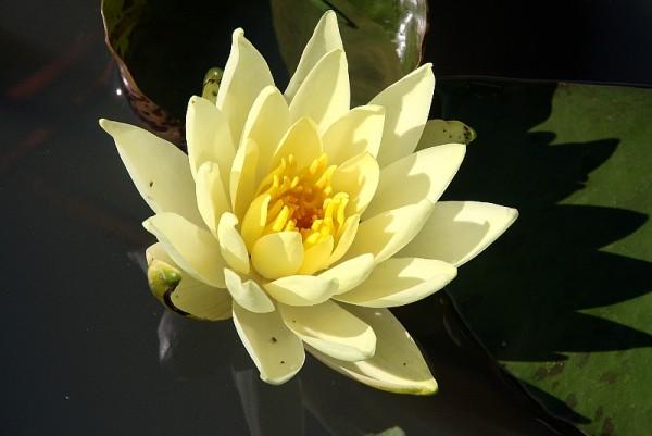 Nymphaea `Yellow Princess` - Winterharte Seerose