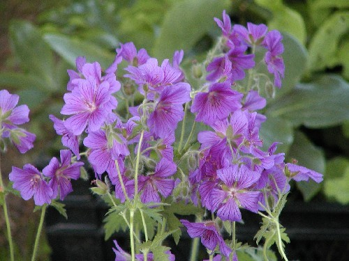 Geranium sylvaticum `Mayflower` - Waldstorchschnabel