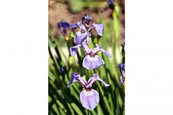 Iris setosa var canadensis `Nana` - Borstenschwertlilie