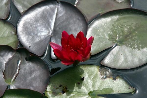 Nymphaea `Perry`s Red Glow` - Winterharte Seerose
