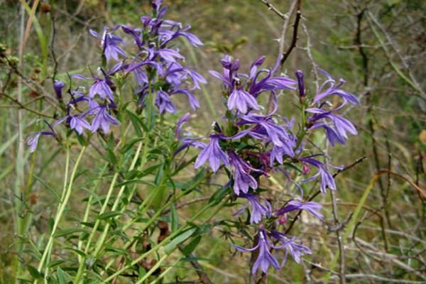 Lobelia sessilifolia [Lamb.] - Japanische Lobelie