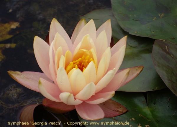 Nymphaea `Georgia Peach` - Winterharte Seerose