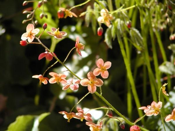 Epimedium x warleyense 'Orangekönigin' - Elfenblume