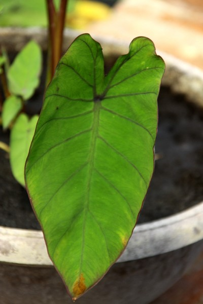 Colocasia esculenta `Royal Hawaiian Blue' - Taro