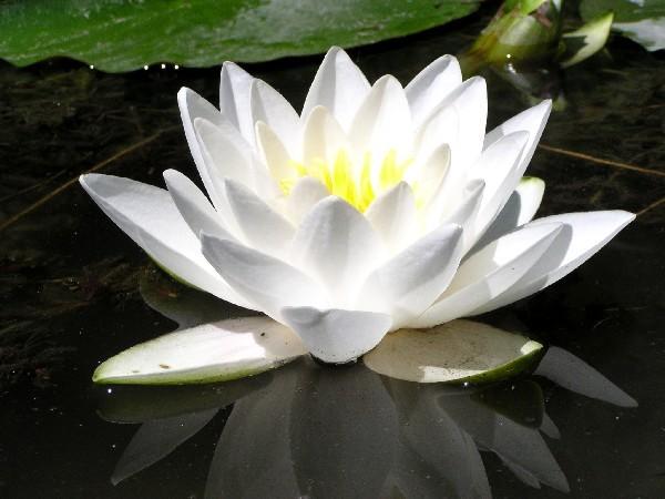 Nymphaea `White Sultan` - Winterharte Seerose