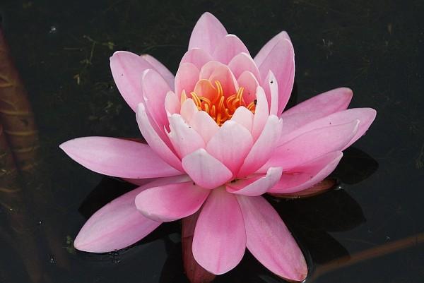 Nymphaea `Pink Peony` - Winterharte Seerose
