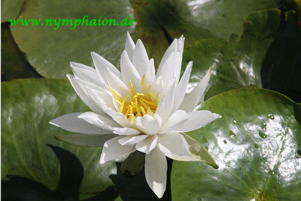 Nymphaea `Perry`s White Star` - Winterharte Seerose