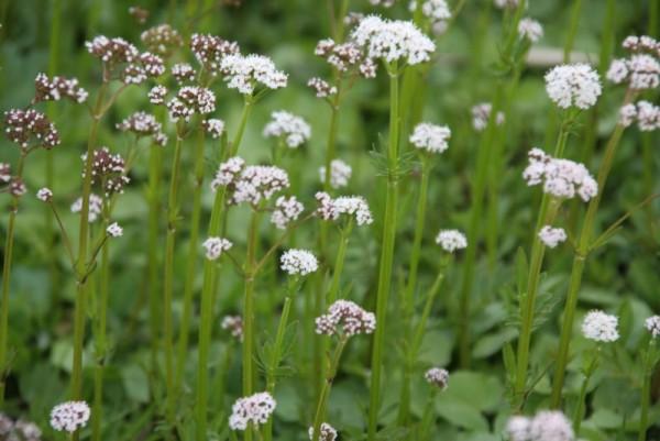 Valeriana dioica [L.] - Kleiner Baldrian
