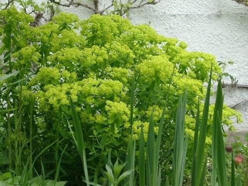 Euphorbia lucida [Waldst. et Kit.] - Glanz-Wolfsmilch