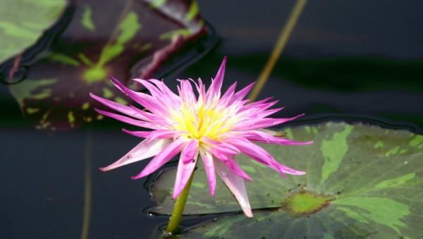 Nymphaea `Pink Flamingo` - Tropische Seerose