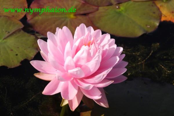 Nymphaea `Dahlia` - Winterharte Seerose
