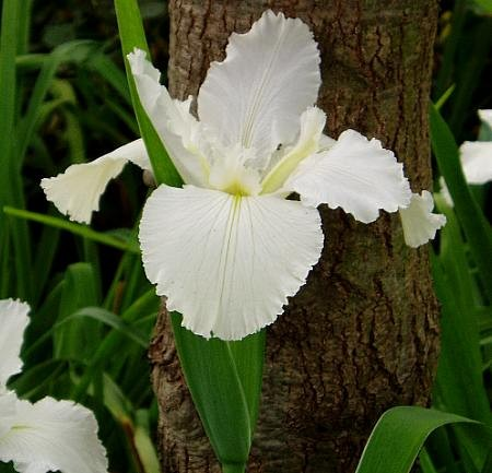 Iris louisiana `Dural White Butterfly` - Louisiana-Iris