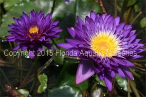 Nymphaea `Morada Bay` - Tropische Seerose