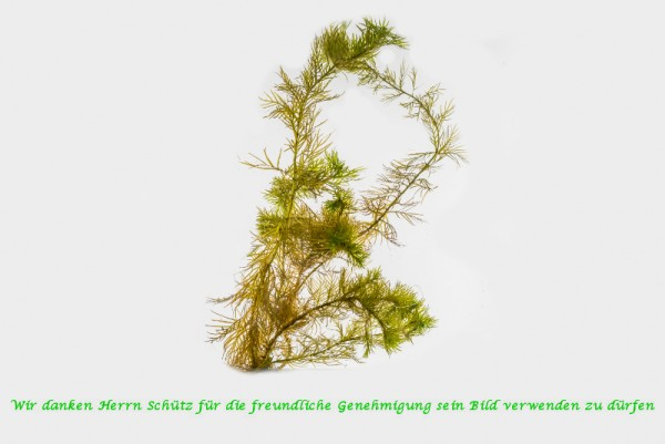 Myriophyllum spicatum [L.] - Ähriges Tausendblatt