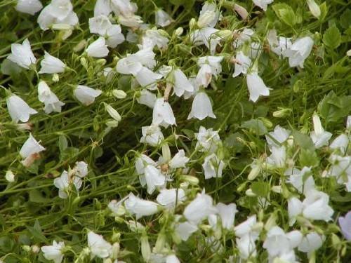 Campanula cochleariifolia `White Baby` - Zwergglockenblume