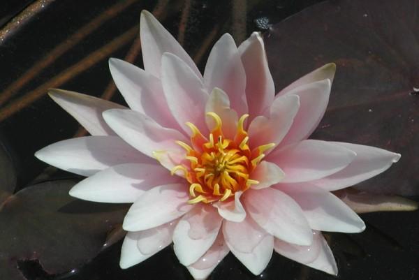 Nymphaea `Galatee` - Winterharte Seerose