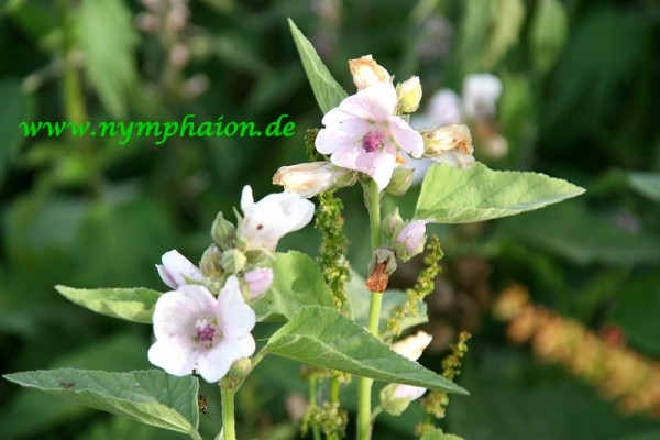 Althaea officinalis `Romney Marsh` - Echter Eibisch