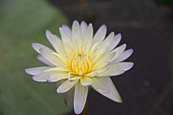 Nymphaea `Lynn Ellen` - Tropische Seerose
