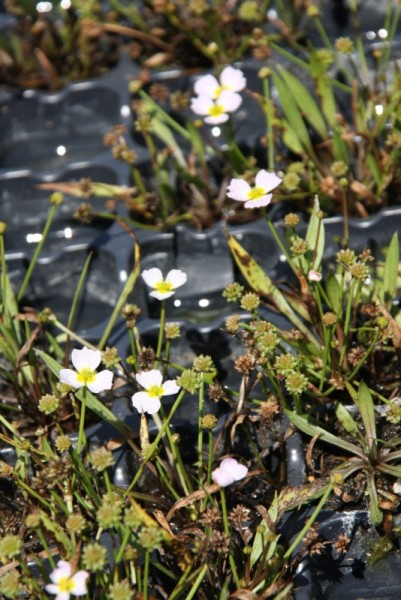 Baldellia ranunculoides [(L.)Parl.] - Igelschlauch