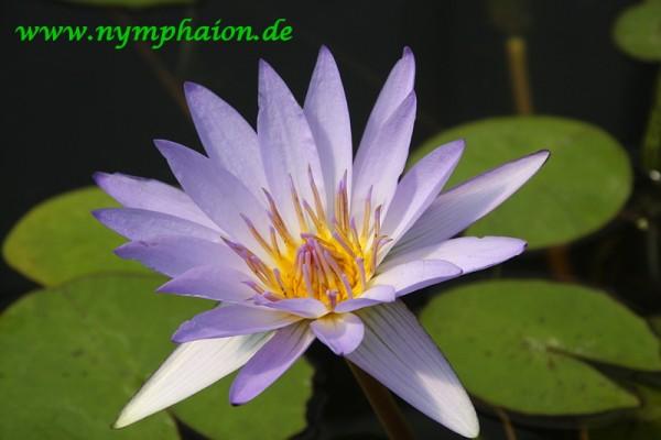 Nymphaea `Pennsylvania` - Tropische Seerose