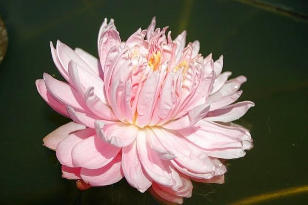 Nymphaea `Lily Pons` - Winterharte Seerose
