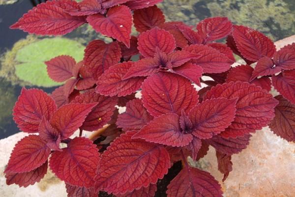 Solenostemon `Dark Red` - Buntnessel