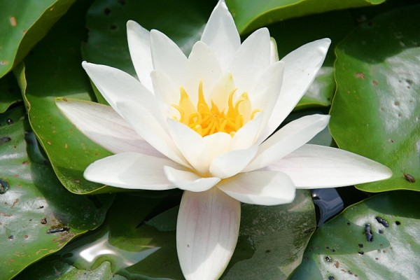 Nymphaea `Candidissima` - Winterharte Seerose