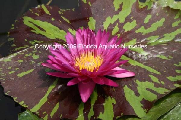 Nymphaea `Hot Pink` - Tropische Seerose