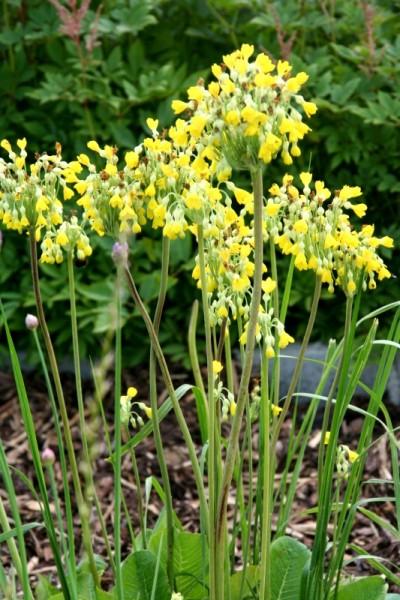 Primula florindae [Kingdon-Ward] - Tibetprimel