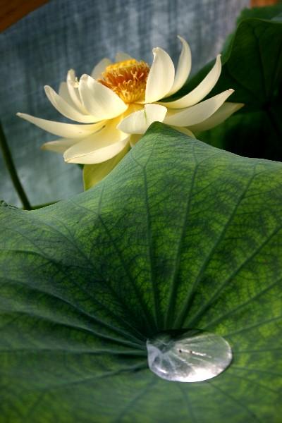 Nelumbo-Bing-Jiao-28-08-05-003