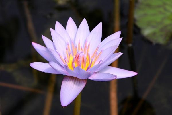 Nymphaea `Key Largo` - Tropische Seerose